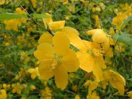 Kerria japonica - Wikipedia