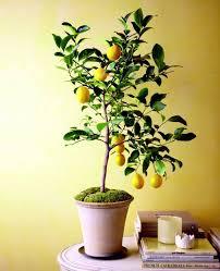 fruit trees in pots varieties of