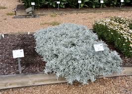 Artemisia Landscape Design Artemisia Is A Perfect Option For Low Maintenance Landscapes