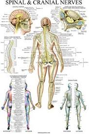 Chiropractic Body Chart The Spinal Nerves Anatomical Chart Spinal Nerves Poster