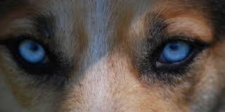 why do some dogs have blue eyes