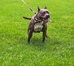 pitbull terrier. Exellent Terrier Pit Bull Dog Breed Pictures With Pitbull Terrier Dogtime