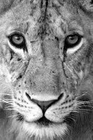 lioness black and white. Exellent Lioness Closeup Of A Lioness Panthera Leo Tarangire National Park Tanzania To Lioness Black And White L