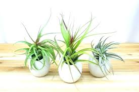 air plant containers holders for plants trio of large hanging ivory ceramic container pack wall hanger mount diy mounted cont
