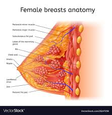 Female Organ Chart Human Female Brest Anatomy Medical Scheme