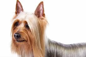 silky dog. silky terrier dog
