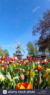 keukenhof gardens the iconic windmill with spring tulips in bloom at keukenhof gardens 2018 lisse south holland netherlands