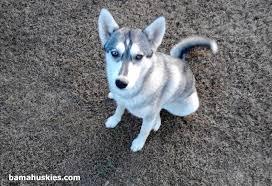 grey husky puppies with blue eyes. Modren Grey Husky Puppy And Grey Husky Puppies With Blue Eyes A
