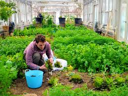 during the winter months my gardeners keep a good eye on this vegetable greenhouse temperatures are monitored and the beds are kept clean and weed free