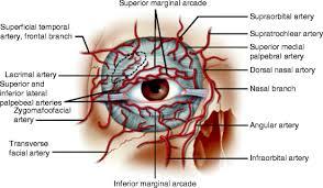 Eyelid Anatomy Anatomy Of The Eyelid Springerlink