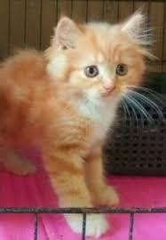 female exotic persian 2 mths old kitten singapore image 1