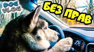 DOGVLOG: ХАСКИ ЗА РУЛЕМ (Хаски Бандит) Говорящая собака ...
