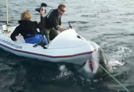 great white shark attacks boat. Brilliant Shark Great Whit Shark Attacking Boat In New Zealand For Great White Shark Attacks Boat