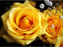 yellow rose hd wallpaper 12 1024 x 768