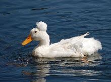 Domestic Duck Breeds Chart List Of Duck Breeds Wikipedia