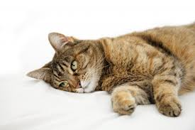 emergency pain relief for cats