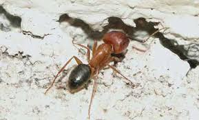 ants in bathroom. Worker Of The Florida Carpenter Ant, Camponatus Floridanus (Buckley),  Entering A Void Ants In Bathroom