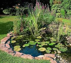 taking care of goldfish in a pond