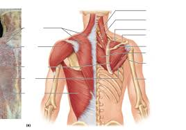 In this video i talk about the muscles that come from the thoracic wall and chest muscles that insert on the shoulder bones. Upper Chest Muscles Diagram Quizlet