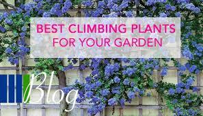 Fences With Deep Pink Trumpet Vine  Climbing Plants For Fences Climbing Plants For Fence