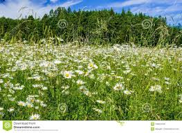 grassy field background. Download Daisy Flowers In A Grassy Field With Woods Background Stock  Photo - Image Of Grassy Field Background F