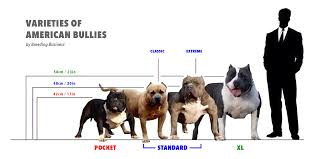 dog breed size chart what is the american bully here is the bully breed 101