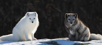 arctic fox facts 40 frosty facts about