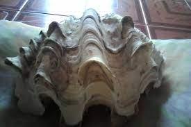 Shell of paradise: หอยมือเสือ
