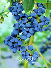 <b>Big Promotion</b>!A Pack <b>100 Pcs</b> Blueberry Tree plant Fruit Blueberry ...