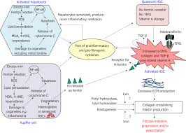 Iron And Liver Fibrosis Mechanistic And Clinical Aspects