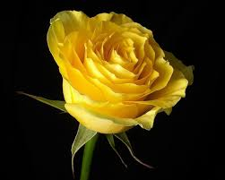 Flowers Roses Black Background Yellow Rose Yellow Flowers