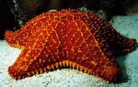 sea star starfish sea dweller the sea star other sea star starfish