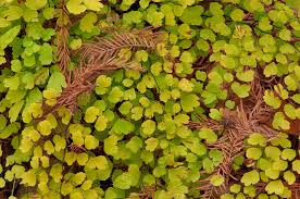 Photo 1131-17: Leaves of Southern Maidenhair Fern (Adiantum...Pool  Preserve, west from Austin. Texas