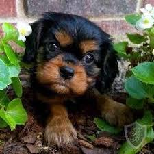 cavalier king charles spaniel black and tan puppy. Modren Cavalier BLACK AND TAN CAVALIER KING CHARLES SPANIEL PUPPY To Cavalier King Charles Spaniel Black And Tan Puppy