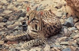 ocelot size ocelot leopardus pardalis animals a z animals
