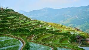 chinese rice field. Modren Rice Rice Terrace Jiabang Province Of Guizhou Chinalingling7788Shutterstock Inside Chinese Rice Field The Culture Trip