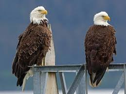 Bald Eagle Identification All About Birds Cornell Lab Of