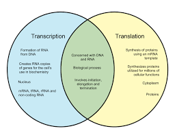 Venn Diagram Of Transcription And Translation Difference Between Transcription And Translation Whyunlike Com