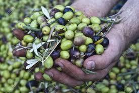 queste c egrave del pianto in queste lacrime di antonio latella  queste mani sono il controllo dei harvest olives raccolta delle archivio fotografico queste mani sono il