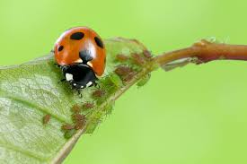 a ladybug eating aphids