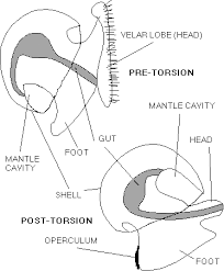 torsion gastropods. effects of torsion torsion gastropods a