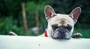 French Bulldog Price What Does A Frenchie Cost My Dogs