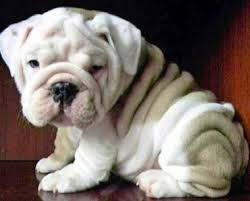 cute baby bulldog. Brilliant Cute Cute Baby English Bulldog  Photo2 On Baby Bulldog