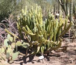 Blue Myrtle-Cactus