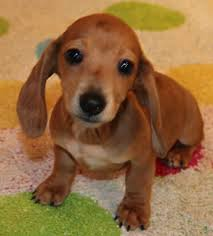 red dapple miniature dachshund puppies in co al az ar ca