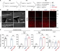 Absence Of Subcerebral Projection Neurons Delays Disease
