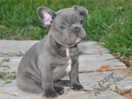 miniature blue french bulldog puppies for sale. Beautiful Blue On Miniature Blue French Bulldog Puppies For Sale E