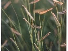 Image result for black grama grass