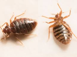 Bedbugs Images Detroit Is 7th Worst City In U S For Bedbugs