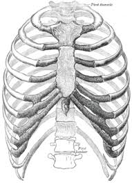 The human rib cage (thoracic cage) has the very important job of protecting the heart and lungs. Rib Cage Wikipedia